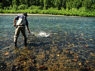 The clear water of Lake Creek Alaska is a gem to behold.  Landing a king salmon in June.
