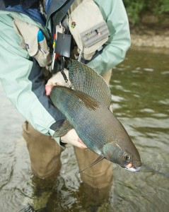 Beautiful Sailfin of the Arctic Grayling