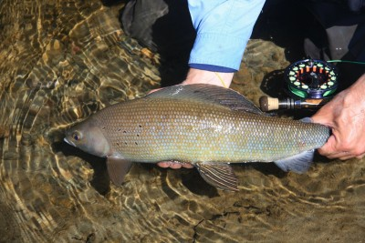 Artic Grayling release