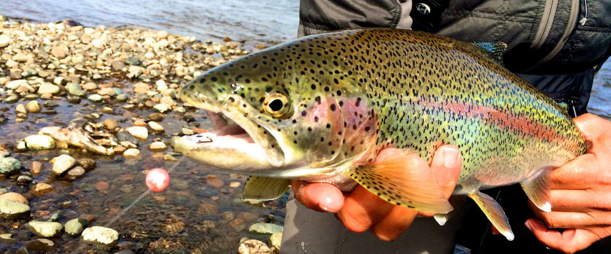 Trophy Rainbow Trout caught at Angler's Alibi Fishing Lodge